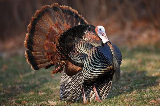 Nov22_ThanksgivingTurkey